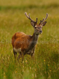 Stag 2969