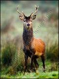 Red Deer Stag 8841