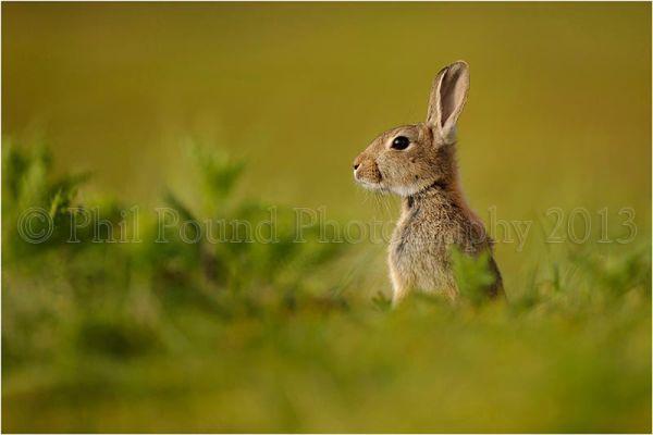 Rabbit 5913