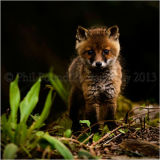 Fox Cub 2325