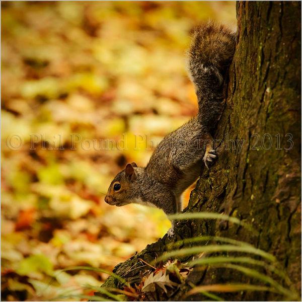 Young Grey Squirrel 7011