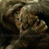 chimp 0703