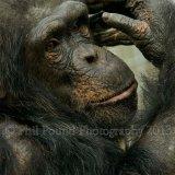 chimp 0708