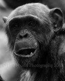 chimp 0746