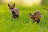 Fox Cub 0074