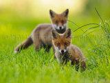 Fox Cubs 0082