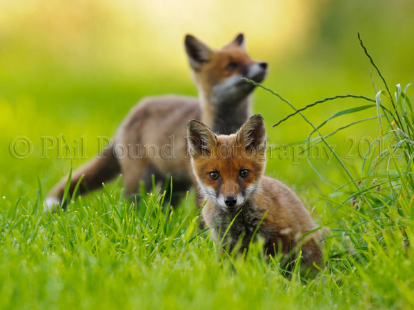 Fox Cubs 0084