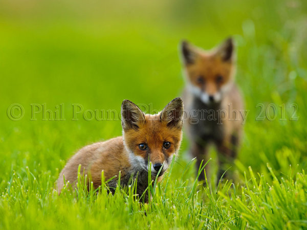Fox Cubs 0121