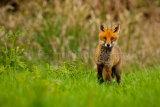 Fox Cub 3236