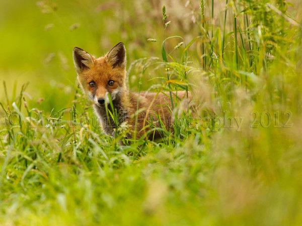 Fox Cub 9846