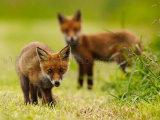Fox Cubs 9863