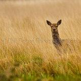 Deer 1718