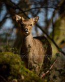 Young Stag 6598