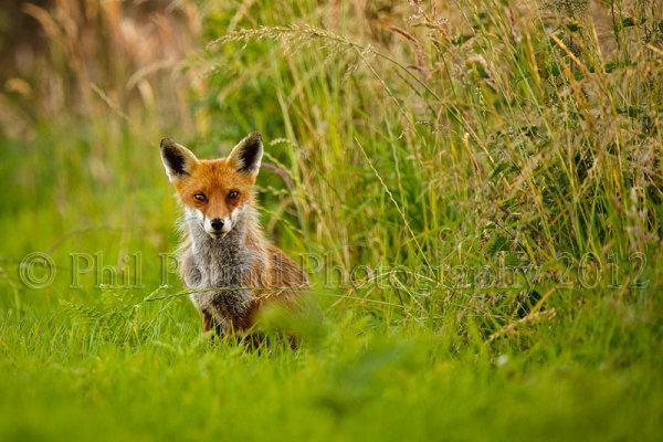 Fox 3498