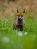 Fox Cub 4922