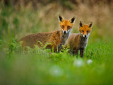 Foxes 4934