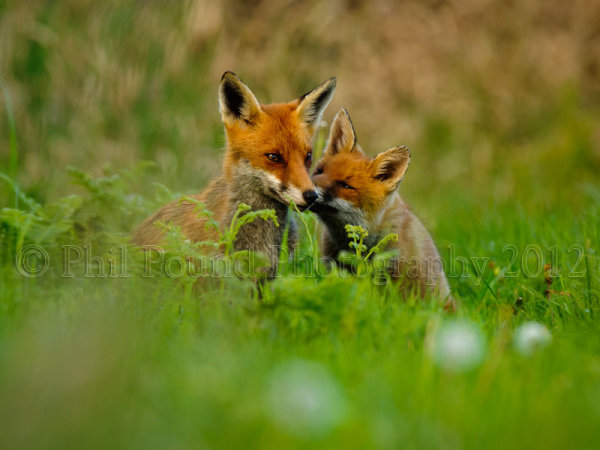 Foxes 4955