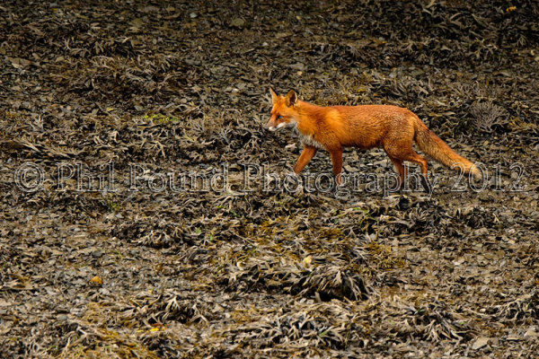Fox 6817