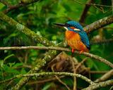 Kingfisher 8951