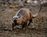 Otter 5033