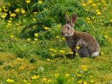Rabbit 8630