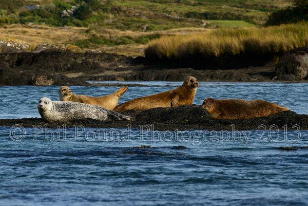 Common Seal gathering 2784