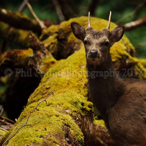 Sika Deer 2079
