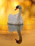 Swan 2602