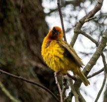 22 - Weaver Bird
