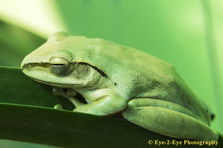 GREEN TREE FROG