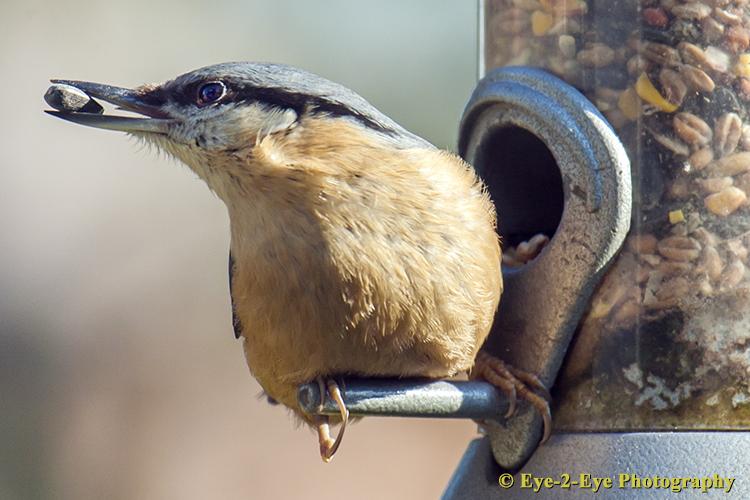 Nut Hatch