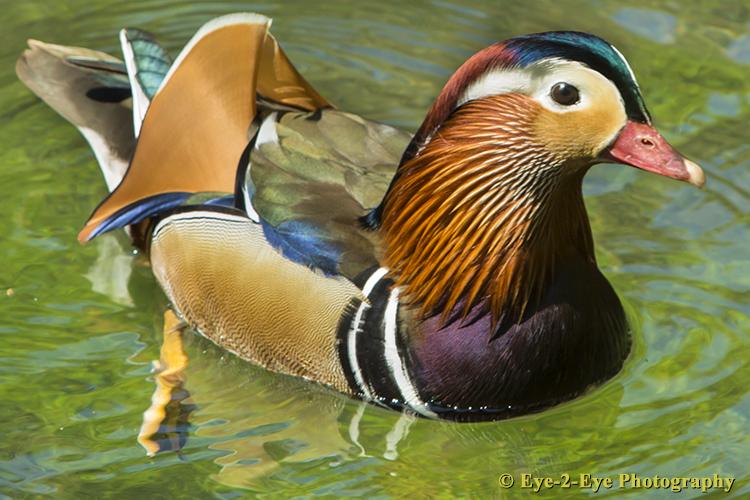 Male Mandarine Duck