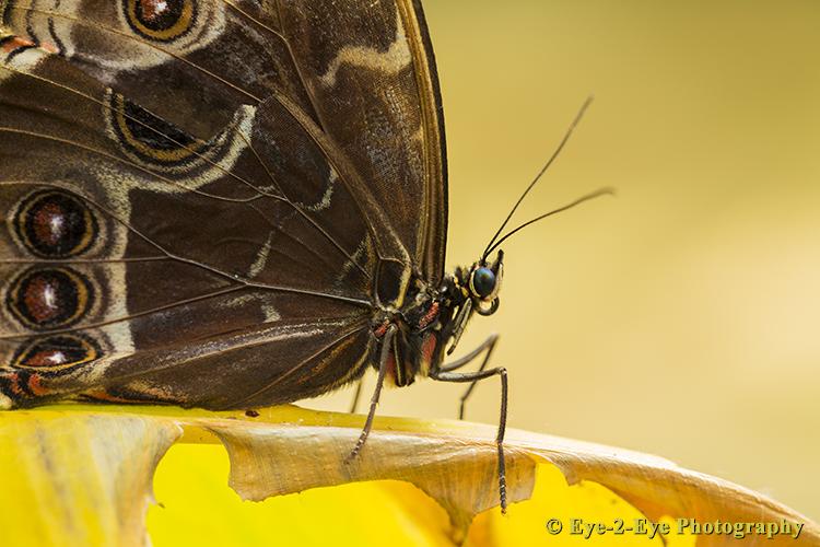 Butterfly - Morpho didus