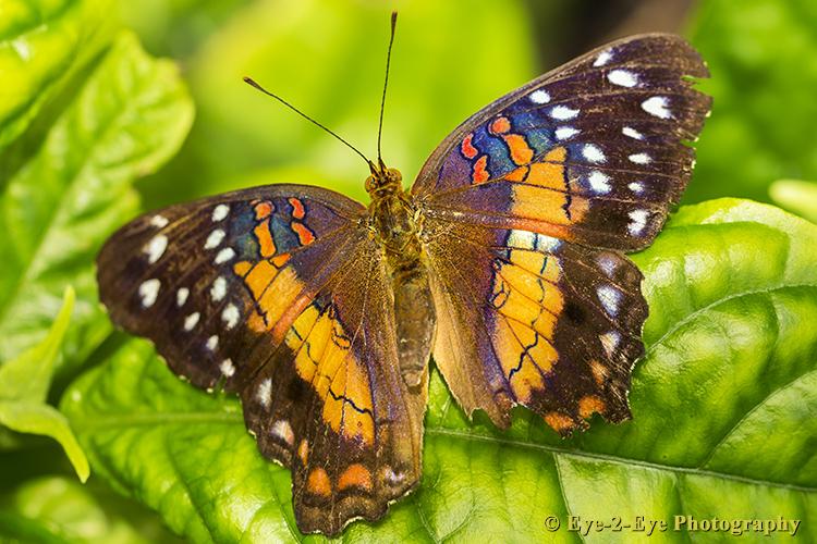 Butterfly - Scatlet Peacock
