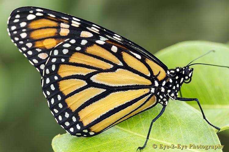 Butterfly - Monach