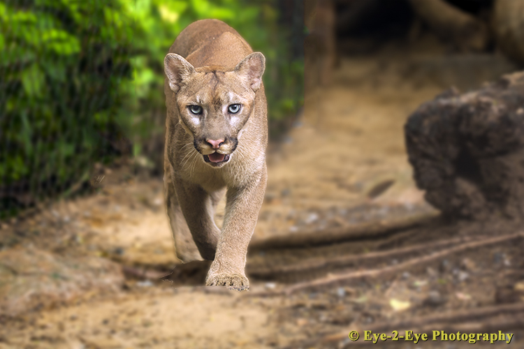 Puma on the Prowl
