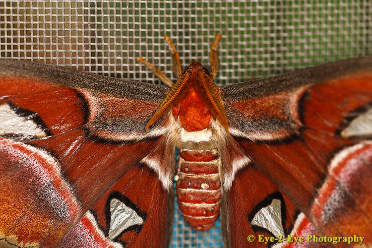 Atlas Moth