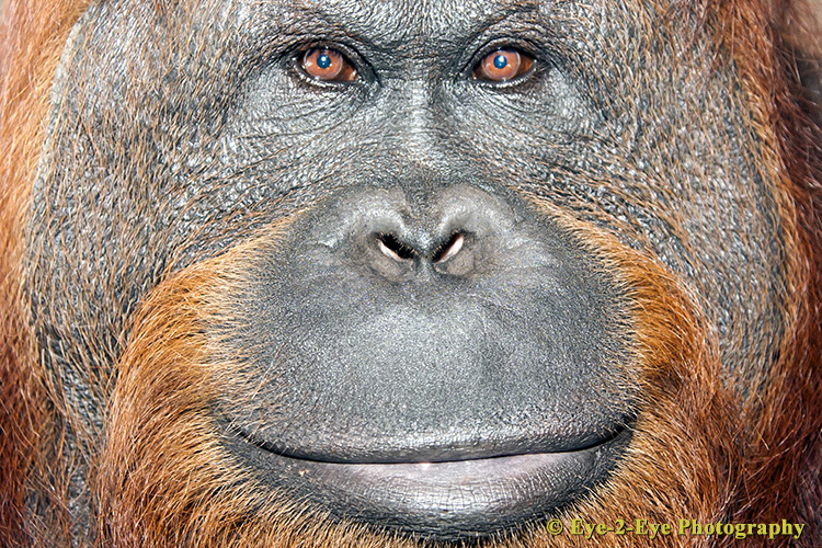 Orangutan - Adult Male