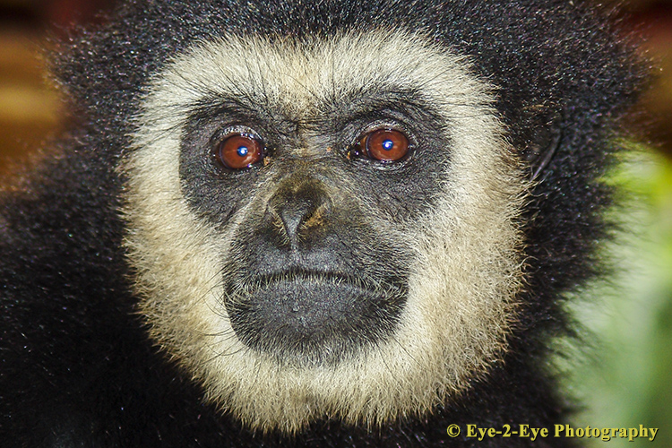 White Handed Gibbon - Male
