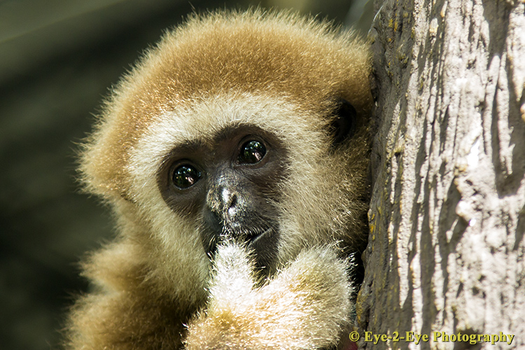 White Handed Gibbon - Young Female