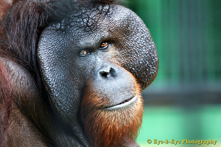 Orangutan - An Alpha Male