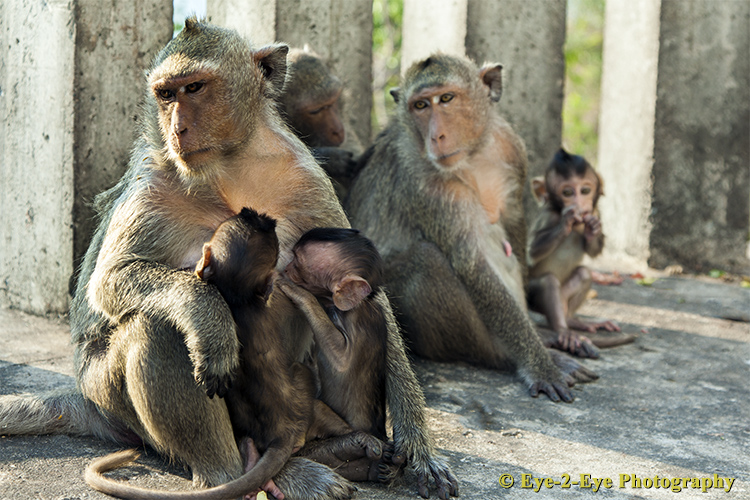 Macaque - Mother and Babies