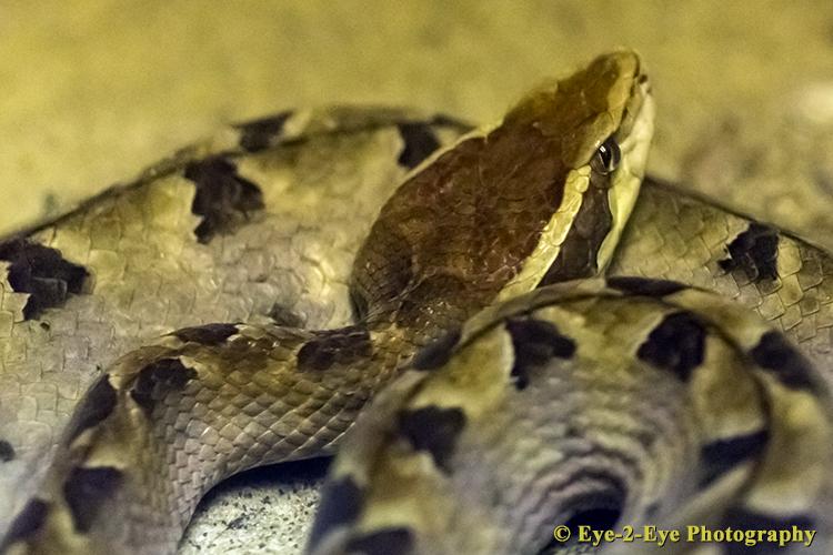 Malaysian Pit Viper