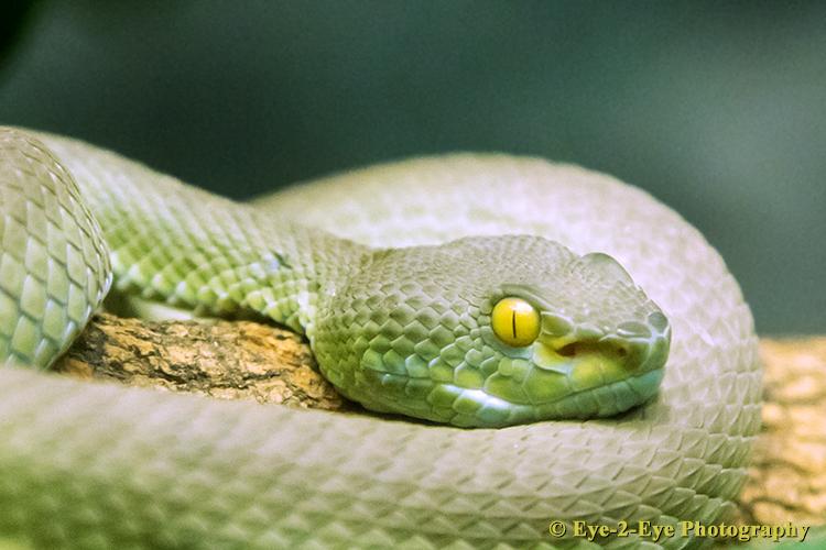 Big Eyed Pit Viper