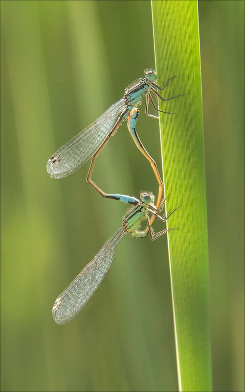 1st Anthony Le Conte ,Annual Nature PDI, Damselflies Mating