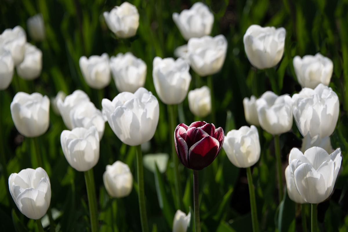 1st Anthony Le Conte , Odd One Out, Tulips