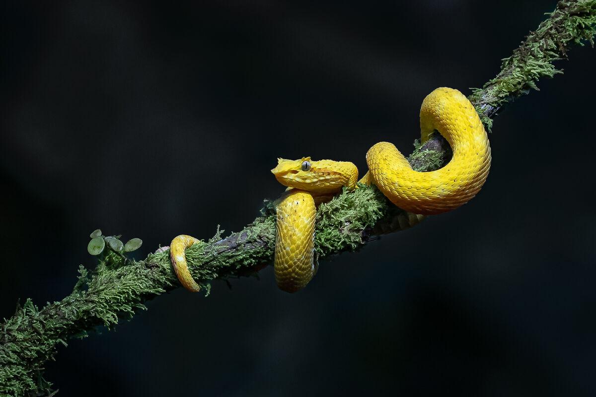 1st Derek Bridel AFIAP, BPE2,Nature, Yellow Eyelash Pit Viper
