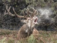 1st Joanne Mahy ,Open Print, Deer In Snow