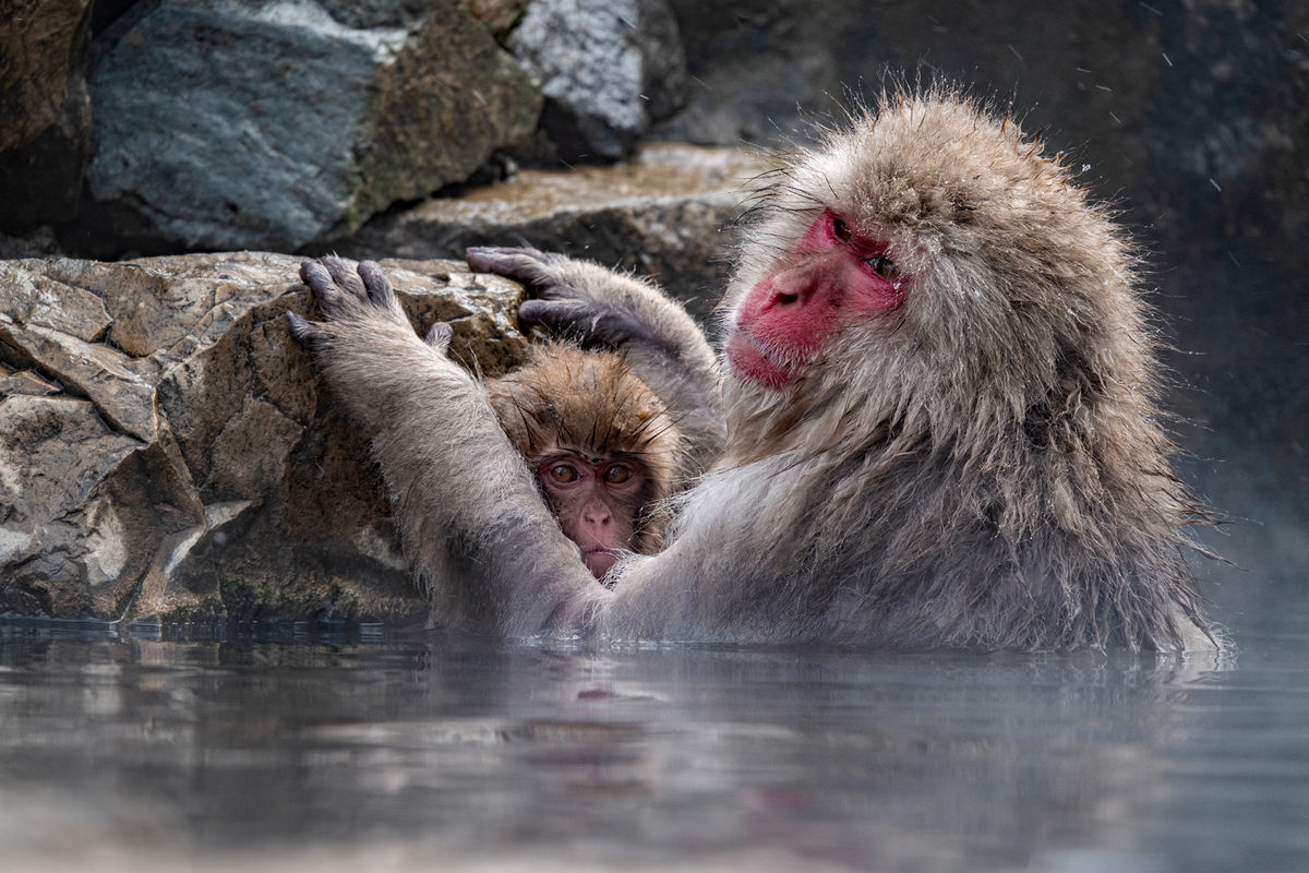 1st Joanne Mahy  Annual Nature Open PDI, Snow Monkey With Baby