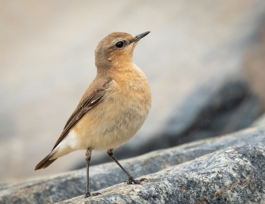 2-Cindy Carre, Female Wheatear